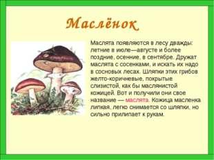 Маслёнок Маслята появляются в лесу дважды: летние в июле—августе и более позд