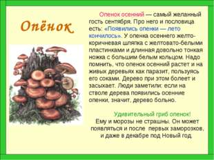 Опёнок Опенок осенний — самый желанный гость сентября. Про него и пословица е