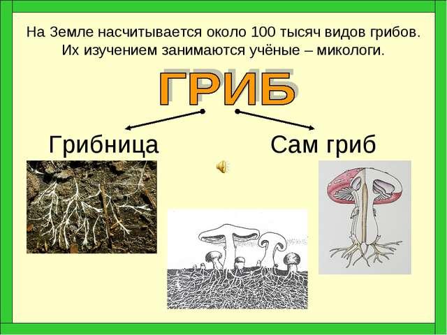 Грибница Сам гриб На Земле насчитывается около 100 тысяч видов грибов. Их изу...
