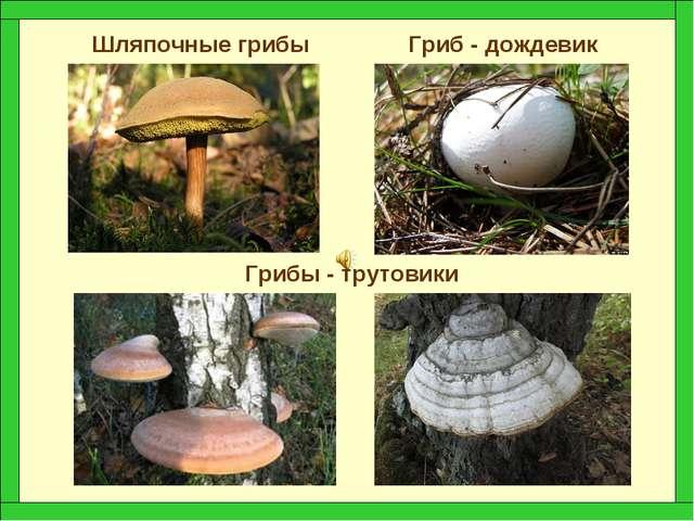Шляпочные грибы Гриб - дождевик Грибы - трутовики