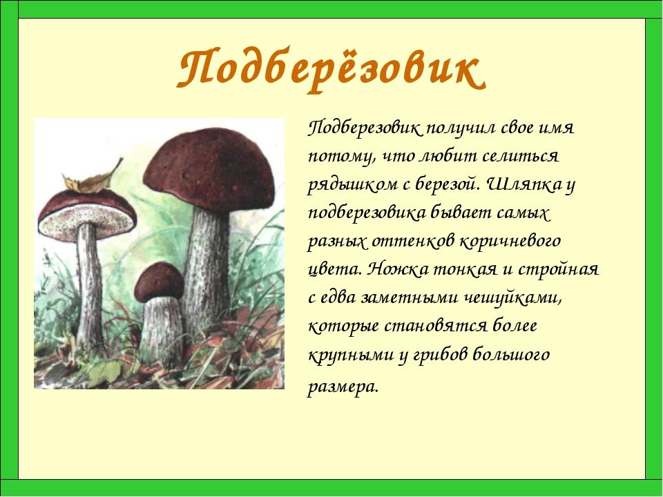Подберёзовик Подберезовик получил свое имя потому, что любит селиться рядышко...