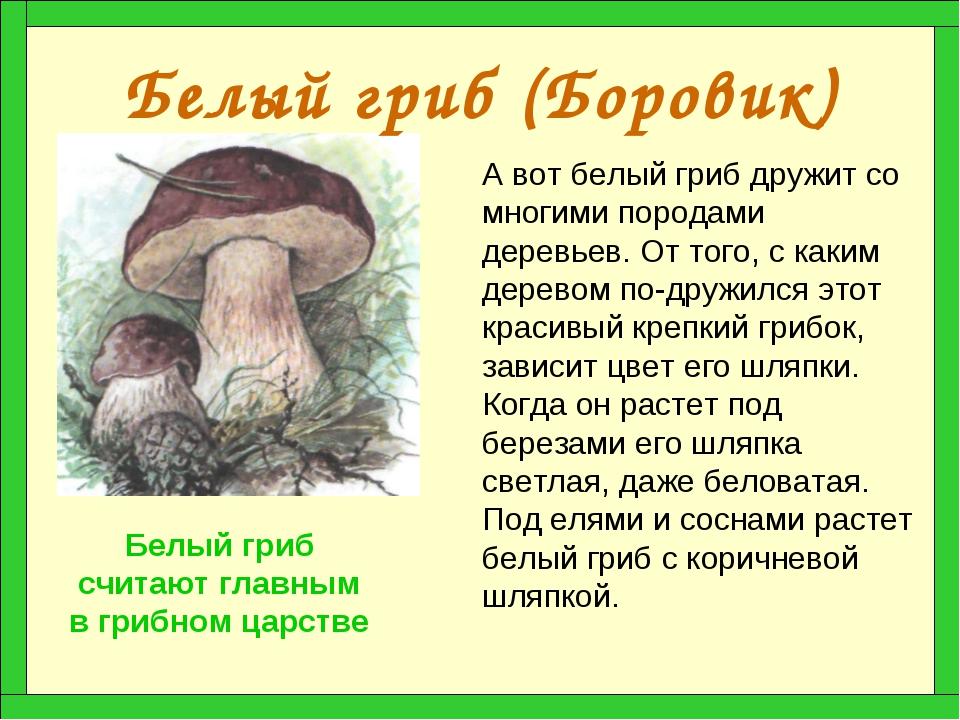 Белый гриб (Боровик) А вот белый гриб дружит со многими породами деревьев. От...