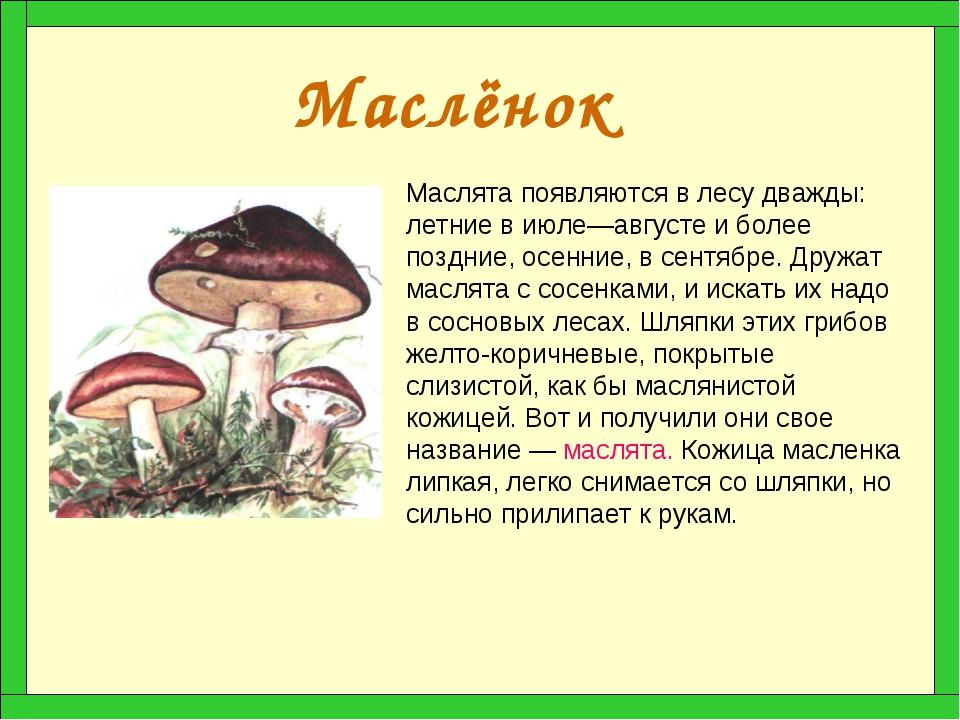 Маслёнок Маслята появляются в лесу дважды: летние в июле—августе и более позд...