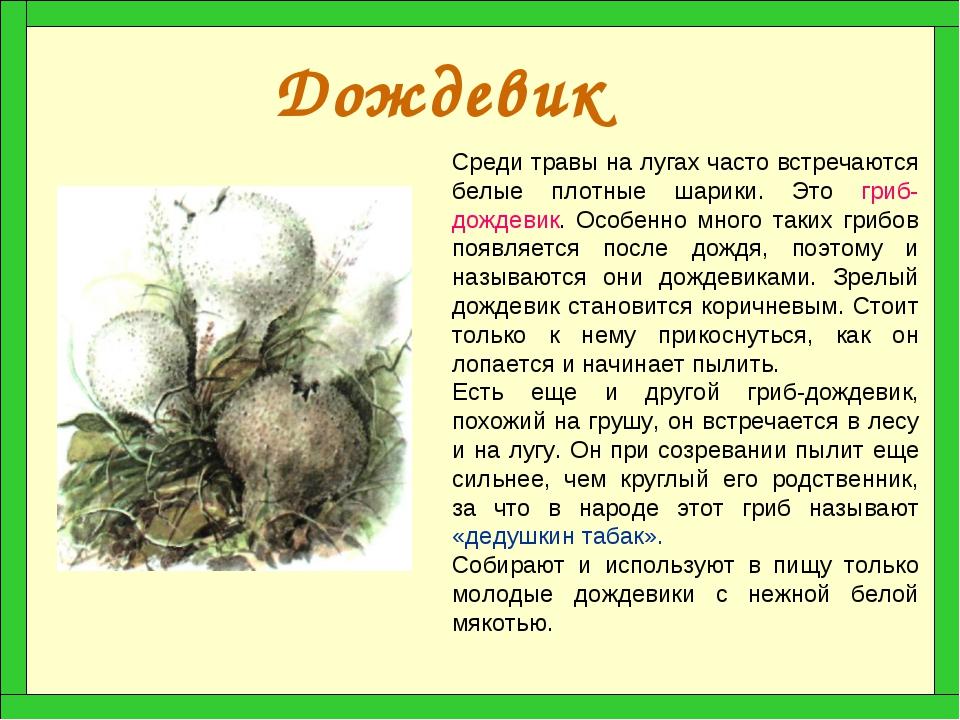 Дождевик Среди травы на лугах часто встречаются белые плотные шарики. Это гри...