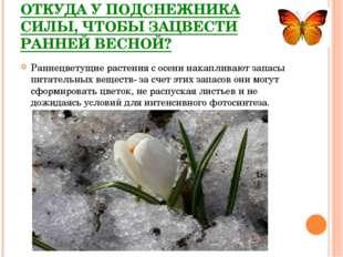 ОТКУДА У ПОДСНЕЖНИКА СИЛЫ, ЧТОБЫ ЗАЦВЕСТИ РАННЕЙ ВЕСНОЙ? Раннецветущие растен