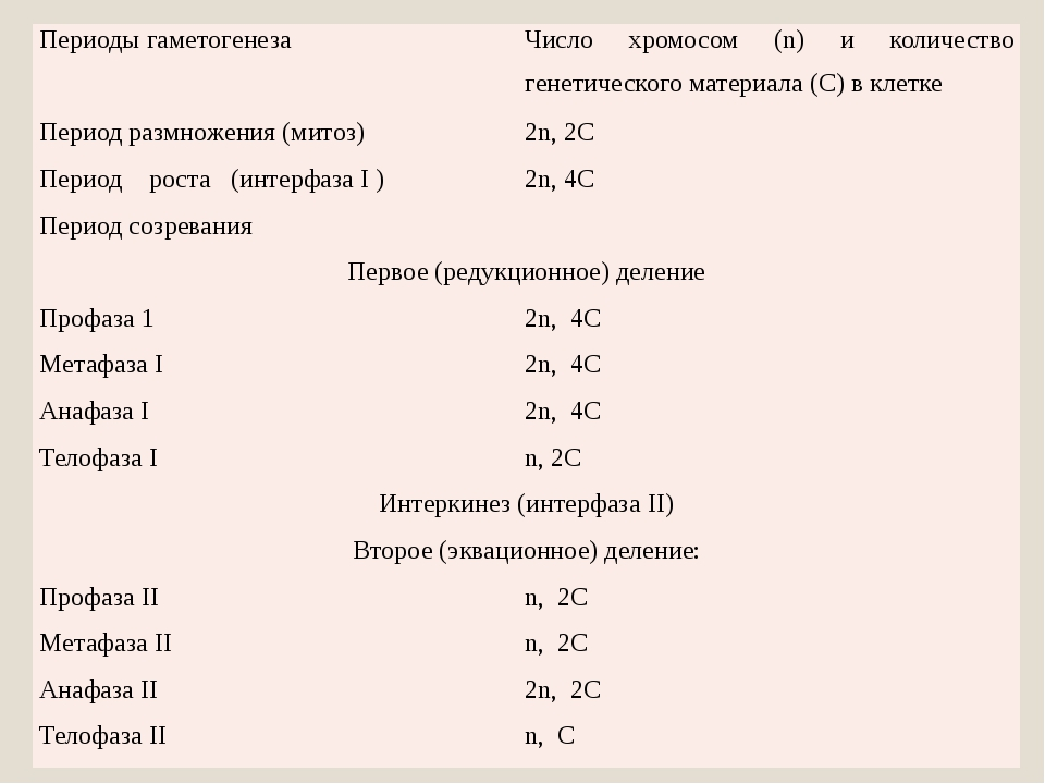 Периоды гаметогенеза Число хромосом (n) и количество генетического материала...