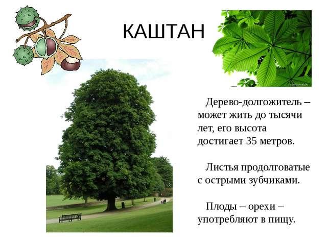 КАШТАН Дерево-долгожитель – может жить до тысячи лет, его высота достигает 35...