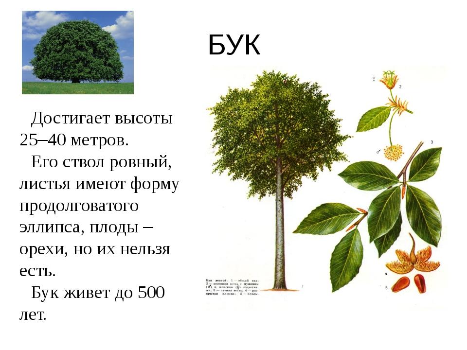 БУК Достигает высоты 25–40 метров. Его ствол ровный, листья имеют форму продо...