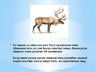 И у самцов, и у самок есть рога. Раз в год взрослые олени сбрасывают рога, но