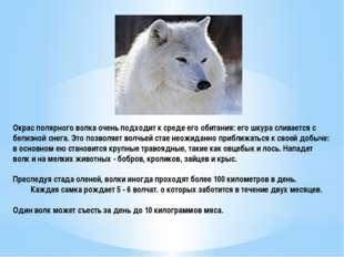 Окрас полярного волка очень подходит к среде его обитания: его шкура сливаетс