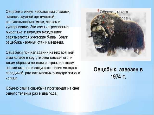 Овцебык, завезен в 1974 г. Овцебыки живут небольшими стадами, питаясь скудной...