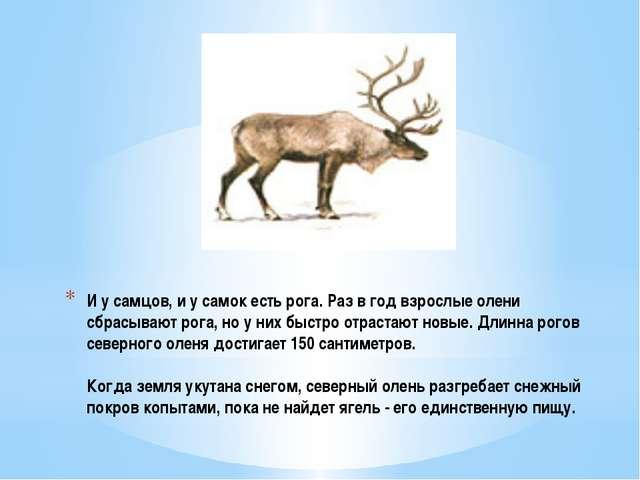 И у самцов, и у самок есть рога. Раз в год взрослые олени сбрасывают рога, но...