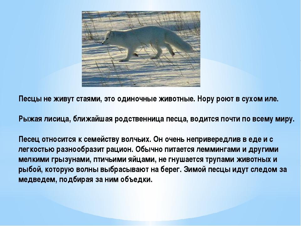 Песцы не живут стаями, это одиночные животные. Нору роют в сухом иле. Рыжая л...