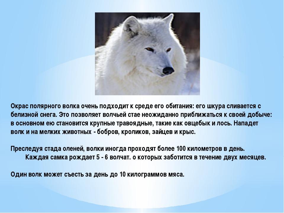Окрас полярного волка очень подходит к среде его обитания: его шкура сливаетс...