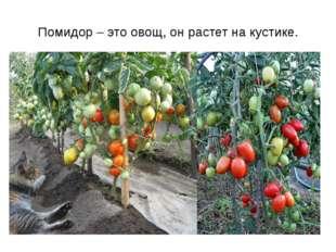 Помидор – это овощ, он растет на кустике.