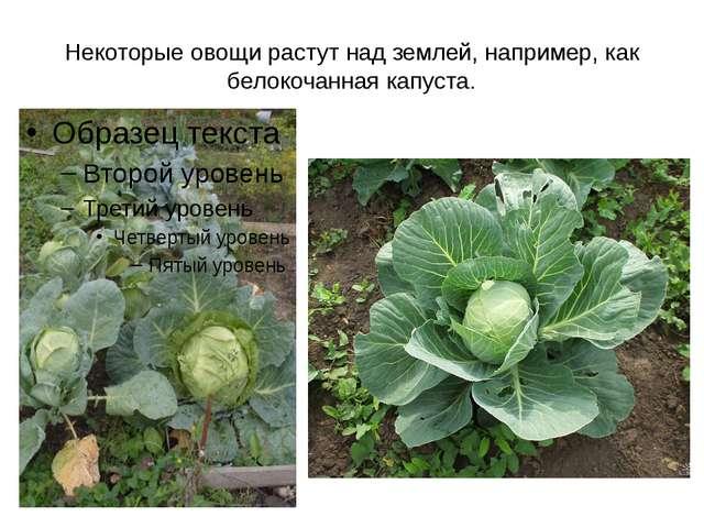 Некоторые овощи растут над землей, например, как белокочанная капуста.