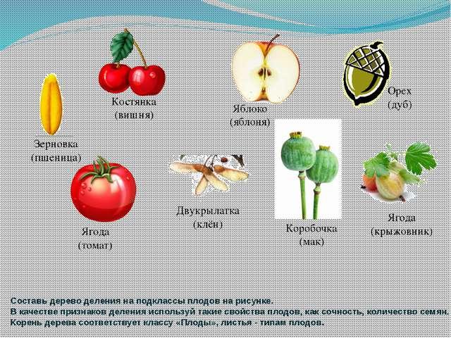 Составь дерево деления на подклассы плодов на рисунке. В качестве признаков д...