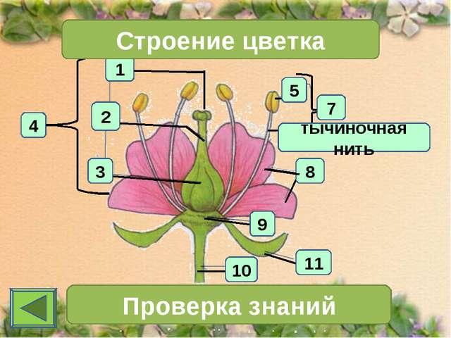 1 4 2 3 Строение цветка 7 Проверка знаний 11 10 тычиночная нить 5 8 9