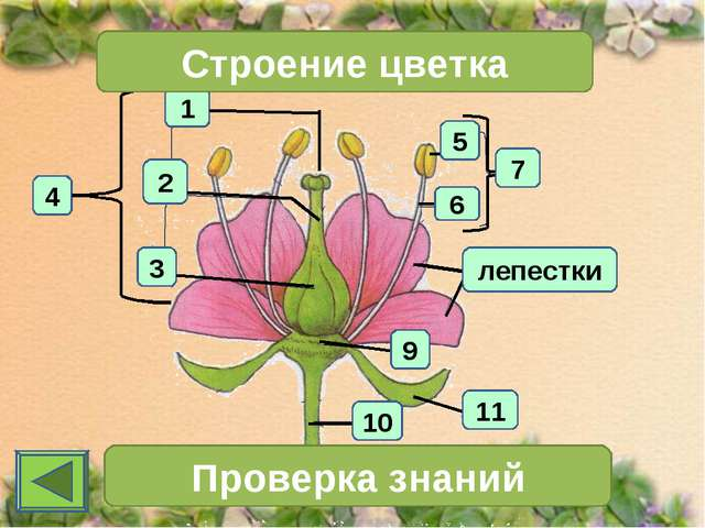 1 4 2 3 Строение цветка 7 Проверка знаний 11 10 6 5 9 лепестки