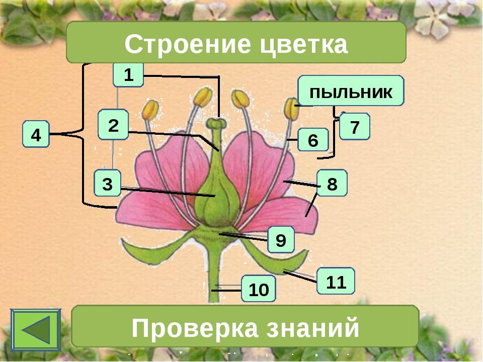 1 4 2 3 Строение цветка 7 Проверка знаний 11 10 6 пыльник 8 9