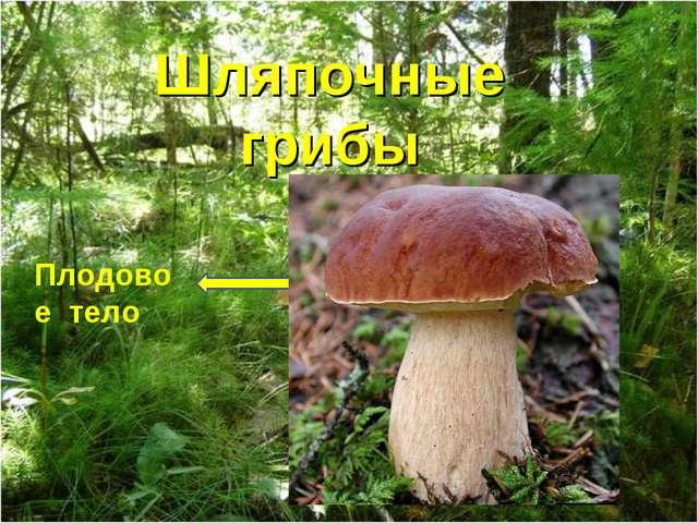 Шляпочные грибы Плодовое тело