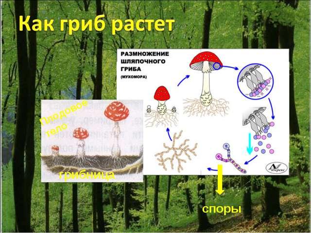 Плодовое тело грибница споры