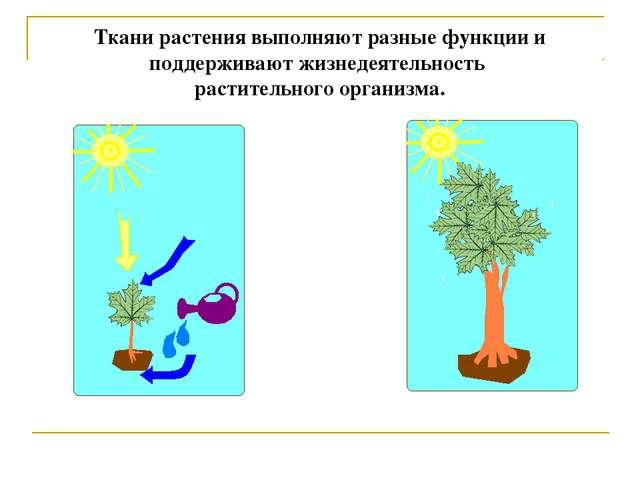 Ткани растения выполняют разные функции и поддерживают жизнедеятельность раст...