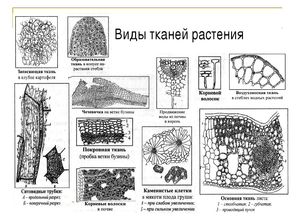 Виды тканей растения