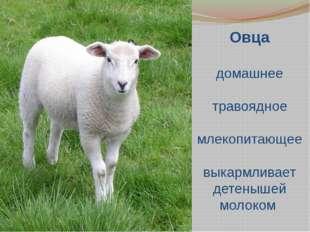 Овца домашнее травоядное млекопитающее выкармливает детенышей молоком
