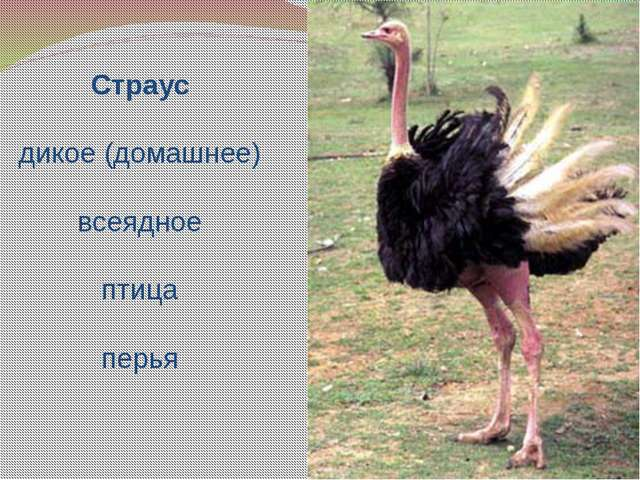 Страус дикое (домашнее) всеядное птица перья