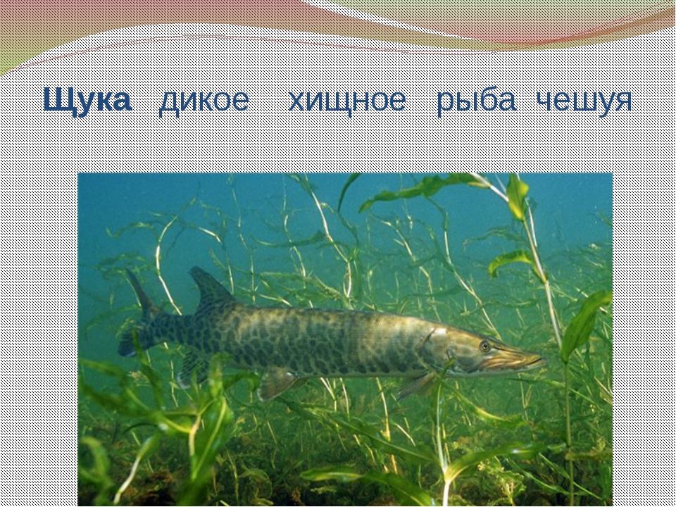 Щука дикое хищное рыба чешуя