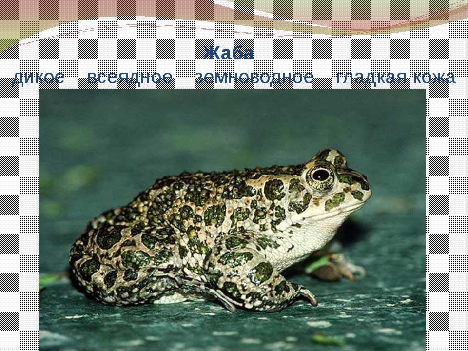 Жаба дикое всеядное земноводное гладкая кожа