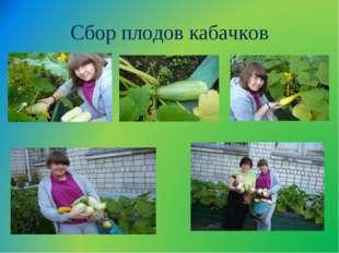 Сбор плодов кабачков