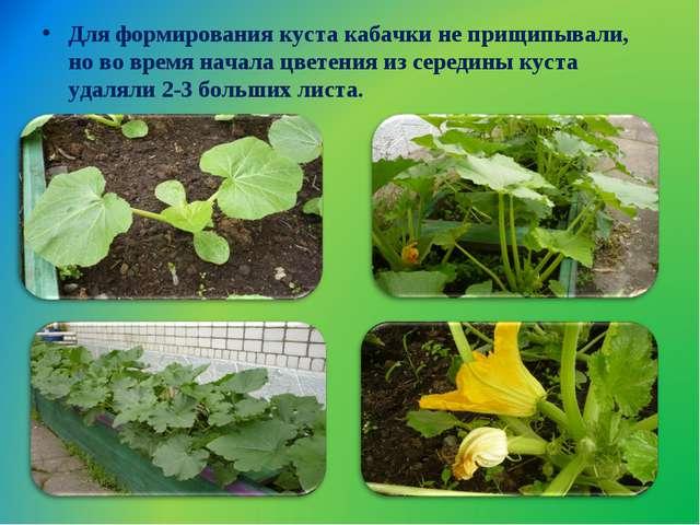 Для формирования куста кабачки не прищипывали, но во время начала цветения из...