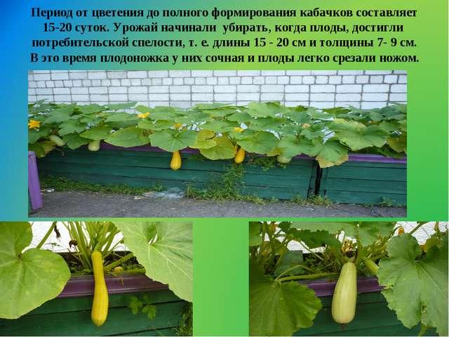 Период от цветения до полного формирования кабачков составляет 15-20 суток. У...