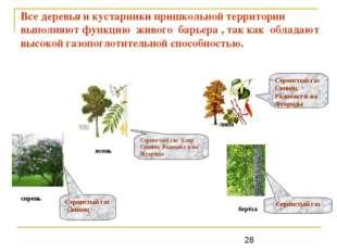 Все деревья и кустарники пришкольной территории выполняют функцию живого барь