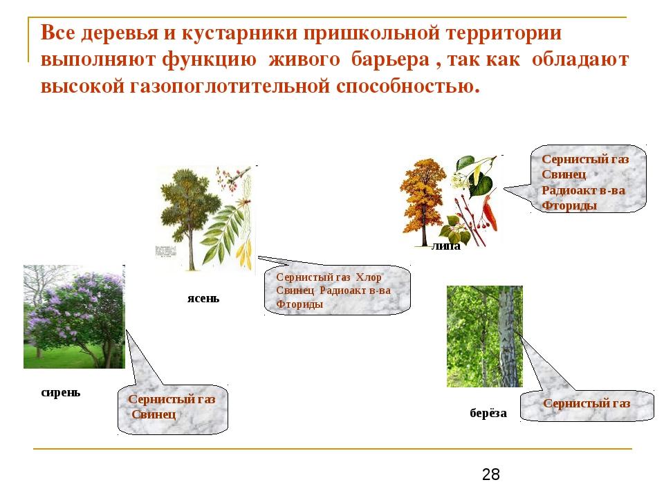 Все деревья и кустарники пришкольной территории выполняют функцию живого барь...