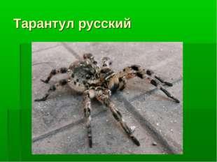Тарантул русский