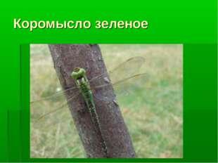 Коромысло зеленое
