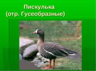 Пискулька (отр. Гусеобразные)