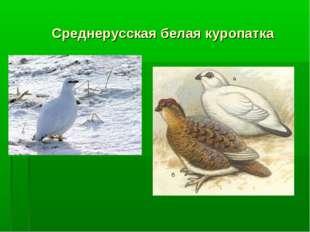 Среднерусская белая куропатка