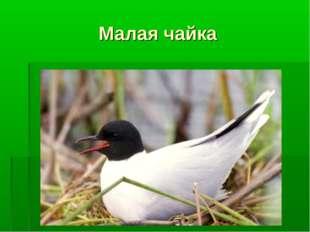 Малая чайка