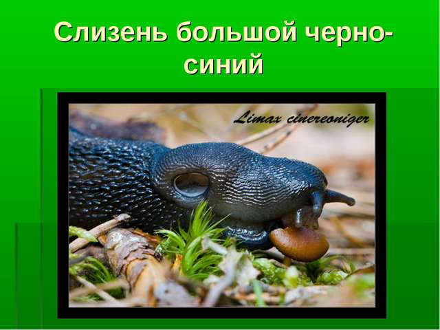 Слизень большой черно-синий