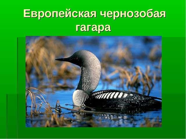 Европейская чернозобая гагара