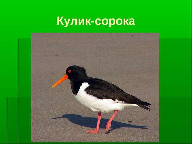Кулик-сорока