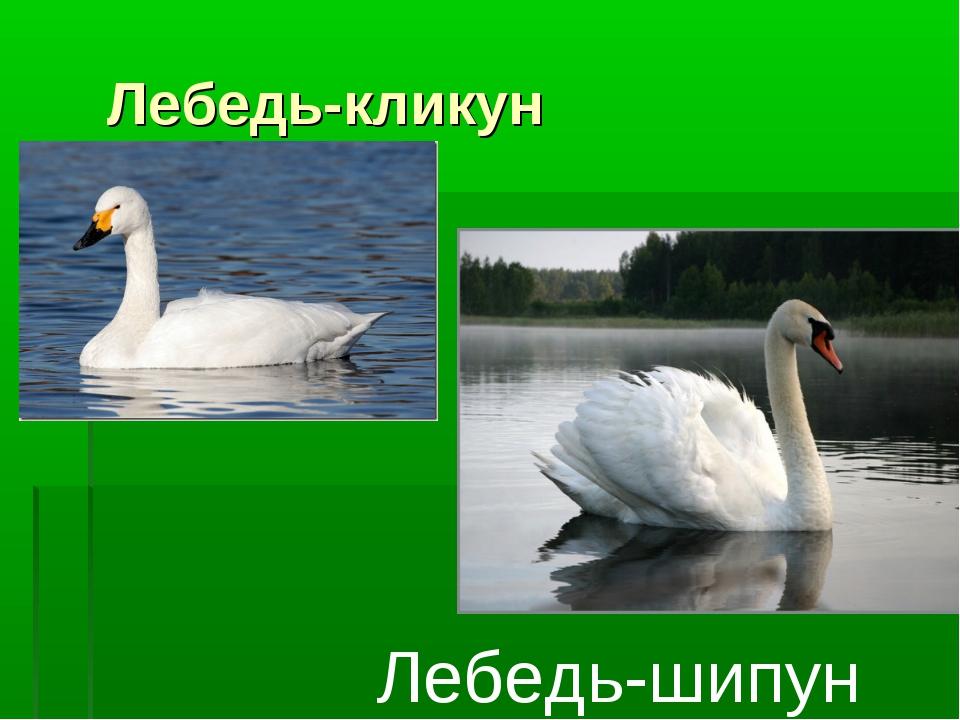 Лебедь-кликун Лебедь-шипун