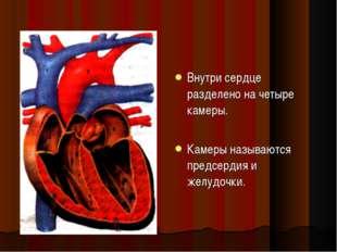 Внутри сердце разделено на четыре камеры. Камеры называются предсердия и желу