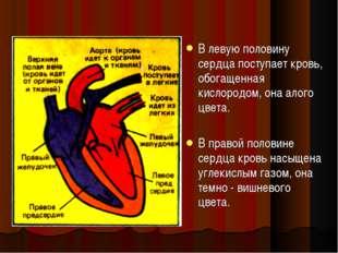 В левую половину сердца поступает кровь, обогащенная кислородом, она алого цв