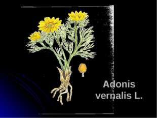 Adonis vernalis L.