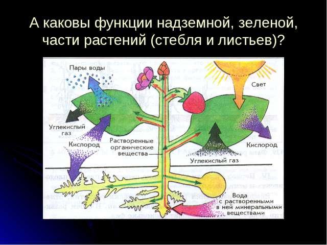 А каковы функции надземной, зеленой, части растений (стебля и листьев)?